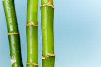 Lucky bamboo with blue background.